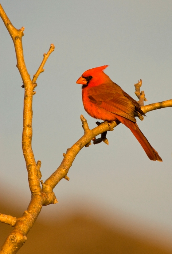 bi-male-northern-cardinal-pv_a9h2377