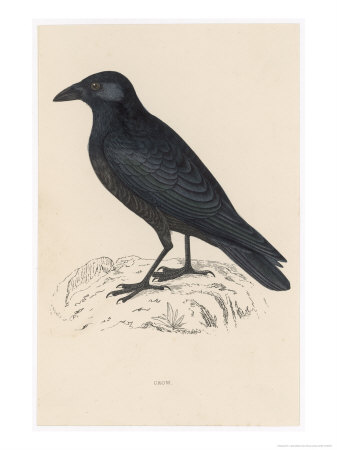 reverend-francis-o-morris-carrion-crow