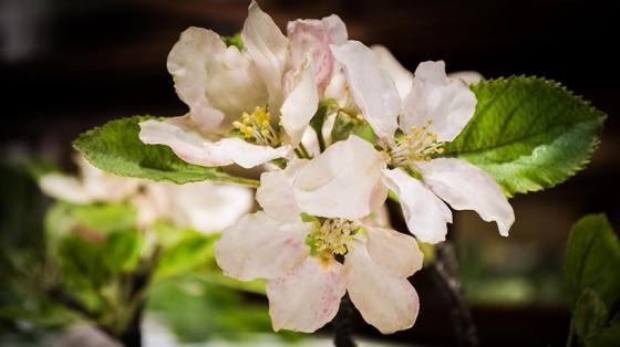 apple_blossom_detail_exhibit_page_01
