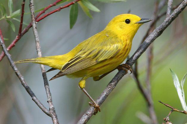 Yellow-Warbler-RolandJordahl.jpg